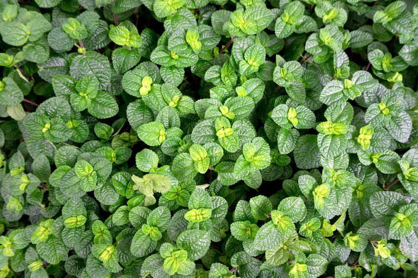 Top view of peppermint leaves background. Herb Leave Nature Top View Background Backgrounds Close-up Freshness Green Color Growth Herbal Medicine Leaf Leaves Leaves Background Mint Nature Pepper Peppermint Peppermint Plant Peppermint Tea Peppermintgrove Plant Top View Vegetable