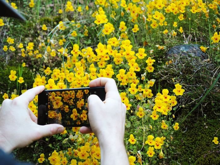 Human Hand Flower Photo Messaging Wireless Technology Low Section Yellow Photographing Communication Portable Information Device Mobile Phone