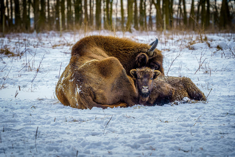 View of an animal during winter