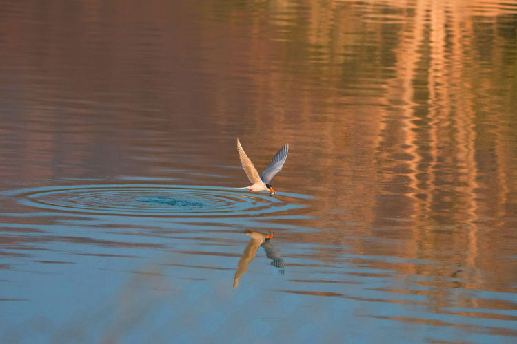 Bird Swimming Over Lake