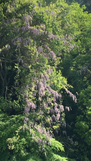 Japanese Wisteria Grow In Mountainous Japanese Wisteria Kyoto Japanese Wisteria Daimonji Mountain Kyoto Kyoto, Japan Kyoto Mountain Nature