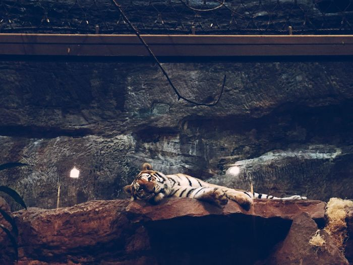 Tiger Lying On Rock