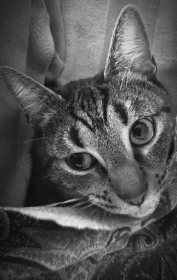 Furryfriend Fine Art Photography EyeEm Best Shots - Black + White Pet Photography  The EyeEm New Talents Gallery EyeEm Animal Lover Looking At Camera Film Is Not Dead Cat Photography Fine Art Black And White Portrait The OO Mission Take Picture Eyes Cat Eyes Watching You Eyes Are Soul Reflection Thanks For Following Me! Animal Themes Monochrome EyeEm Magazine