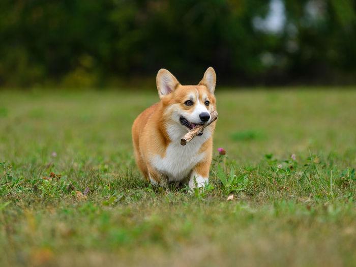 View of dog running on grassy field