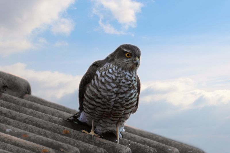 Low angle view of hafk perching against sky