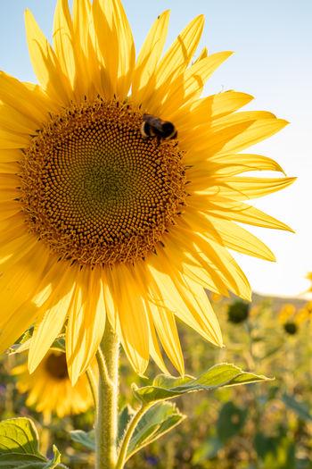 Close-up of honey bee on sunflower