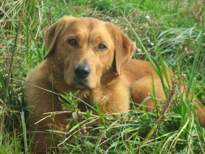 Old Goldie Ridgeback Cross Animal Themes Beagle Close-up Day Dog Domestic Animals Grass Labrador Retriever Mammal Nature No People One Animal Outdoors Pets Portrait Sitting