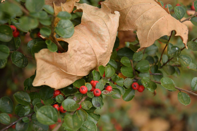 Dry maple leaves on cotoneaster Cotoneaster Maple Maple Leaf Leaf Plant Part Plant Close-up Fruit Beauty In Nature Growth Day Focus On Foreground Nature No People Autumn Vulnerability  Outdoors Berry Fruit Leaves Change