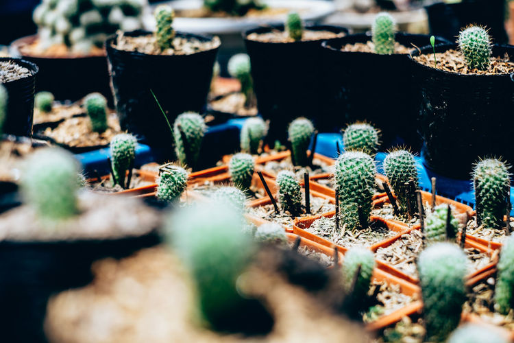 Baby Cacti Cactus Gardening Green Color In A Row Nature Plant Spikes Succulents Arranged Backgrounds Greenhouse Hobby Large Group Of Objects Low Maintenance Outdoors Potted Plant Selective Focus Thorn The Week On EyeEm My Best Photo Springtime Decadence
