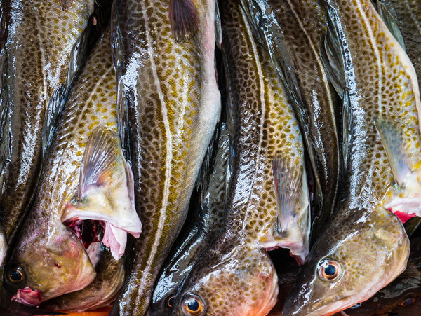 Fresh fish Animal Themes Backgrounds Blood Blut Close-up Day Dorsch Fish Fishing For Sale Fresh Fresh On Eyeem  Fresh Product Full Frame Harbour Looking At Camera Natural Pattern No People Outdoors Pattern Dorsch Fishes Kabeljau Codfish