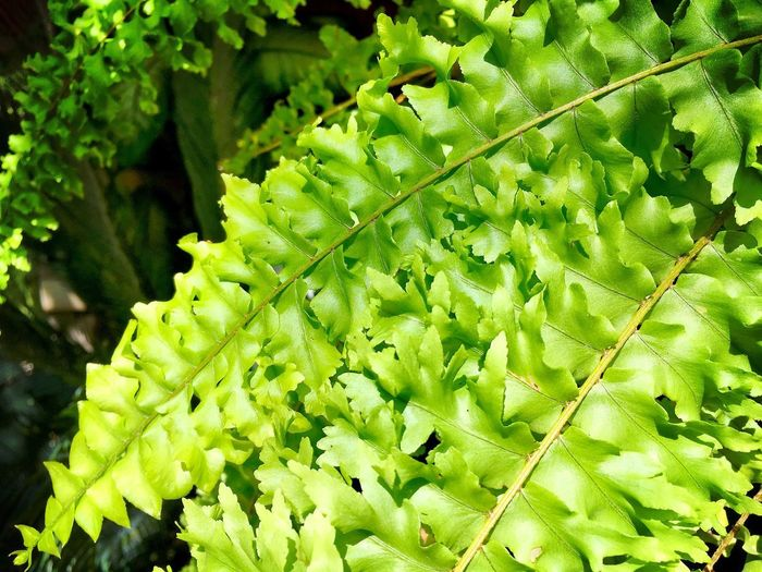Boston Fern leaves Green Color Leaf Nature Outdoors Freshness Forest Plant Ecology Producer Cellulose Cell Wall Vein Midrib Garden Biology Nature Fern Boston Fern Transpiration Chlorophyll Chloroplast Photosynthesis Plant Cell Science Botany