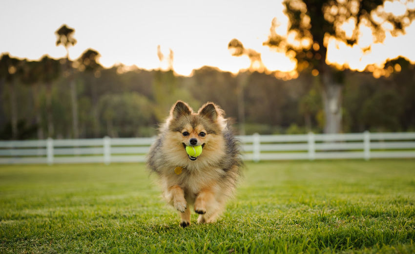Pomeranian dog outdoor portrait Field Horizontal Pomeranian Running Animal Animal Themes Ball Color Day Dog Domestic Animals Field Looking At Camera Mammal No People One Animal Outdoors Pet Pets Photography Playing Portrait Purebred Dog