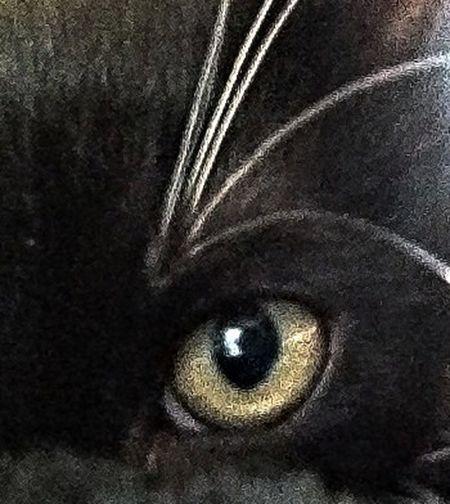 Cat Cats Eyes Pets Eye
