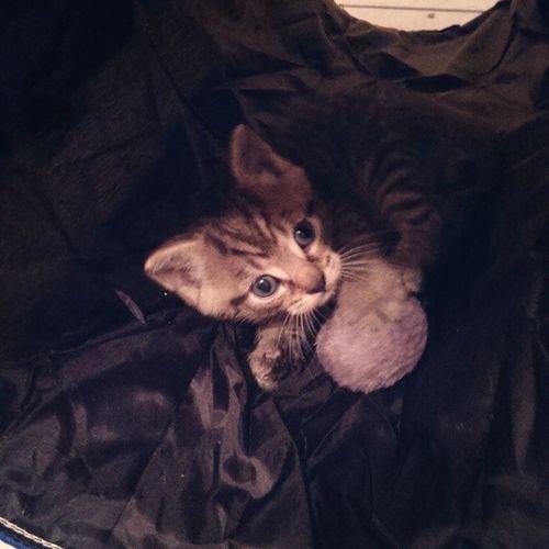 Paulchen Baby Mieze Cuddle play sosweet liebling böserknäul Tunnel kitten stinker catlove instacat heart