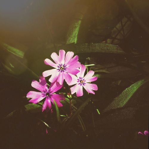 Pink flowers blooming in pond
