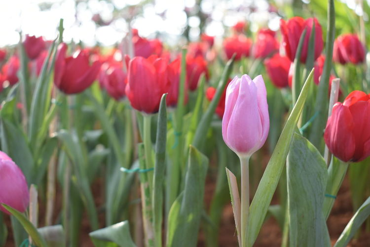 Pink tulip is