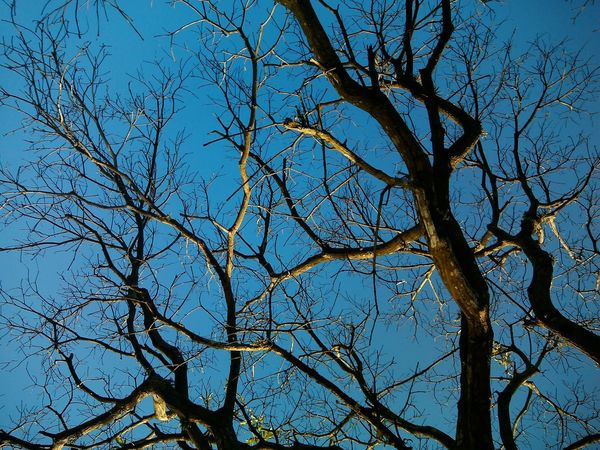 Low Angle View Tree Blue Branch Sky Nature No People Outdoors Growth Day Bare Tree Clear Sky Close-up Beauty In Nature