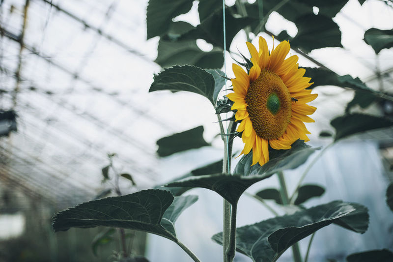 Low Angle View Of Sunflower Growing In Greenhouse