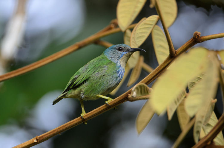 Shining Honeycreeper (Cyanerpes lucidus) - female Costa Rica Cyanerpes Lucidus Heredia, Costa Rica Sarapiqui Shining Honeycreeper Animal Animal Themes Animal Wildlife Animals In The Wild Bird Branch Nature One Animal Outdoors Perching Tree Wildlife