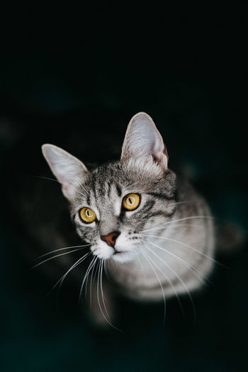 Animal Themes Animal One Animal Pets Domestic Cat Cat Domestic Animals Black Background Animal Eye Animal Head  Domestic Feline Whisker Portrait No People Kitten Ringlight