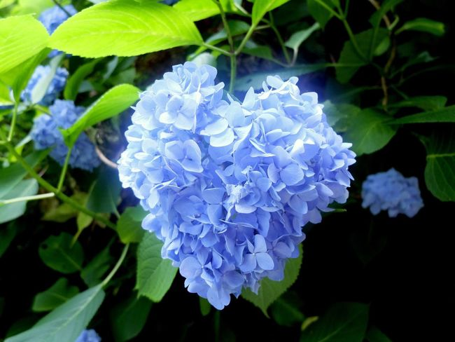 ハートの紫陽花発見 Flower Growth Nature Beauty In Nature Plant Petal Fragility Leaf Hydrangea Blooming Freshness Day No People Outdoors Close-up Flower Head 旅行 山形県 旅 山形 山寺 紫陽花 はーと