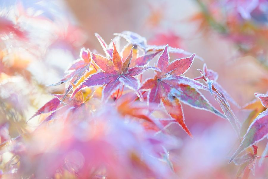 Frozen Autumn Nature Leaf Autumn Beauty In Nature Outdoors Day No People Change Growth Close-up Fragility Plant Maple Leaf Tree Maple The Week On EyeEm Capture The Moment Japan EyeEm Nature Lover Still Life Frozen Pastel Colors Morning Light Cold Season Cold Morning