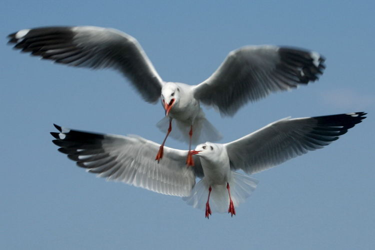 Animal Themes Animal Wildlife Animal Wing Animals In The Wild Bird Black-headed Gull Clear Sky Day Flying Low Angle View Mid-air Nature No People Outdoors Sky Spread Wings