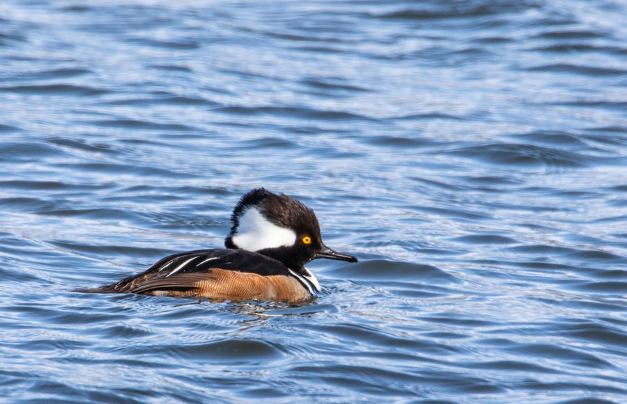 Animal Animal Themes Animal Wildlife Animals In The Wild Beauty In Nature Bird Day Duck Hooded Merganser Lake Motion Nature No People One Animal Outdoors Rippled Swimming Vertebrate Water Waterfront