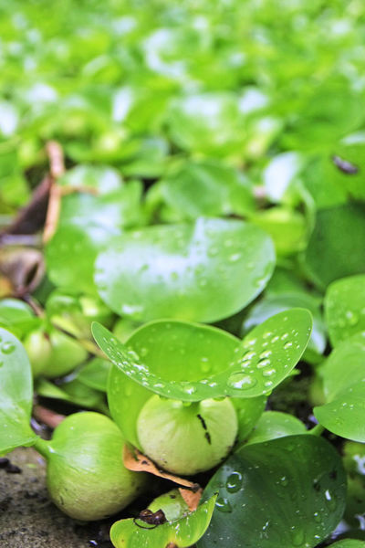 Water Hyacinth leafs Abundance Bunch Close-up Day Focus On Foreground Freshness Green Color Large Group Of Objects Nature Organic Water Hyacinth Leafs