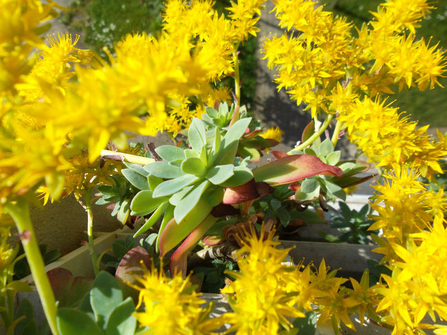 From my balcony Beauty In Nature Blooming Close-up Day EyeEm Gallery EyeEm Nature Lover Flower Flower Head Fragility Freshness Grassy Growth Nature No People Outdoors Petal Plant Spring Into Spring Succulent Plant SucculentsLover Yellow