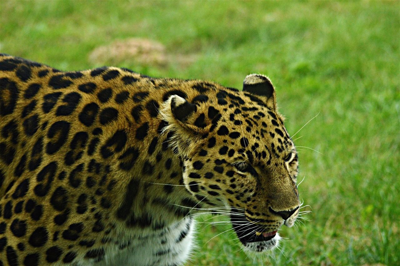 Close-Up Of An Amur Leopard