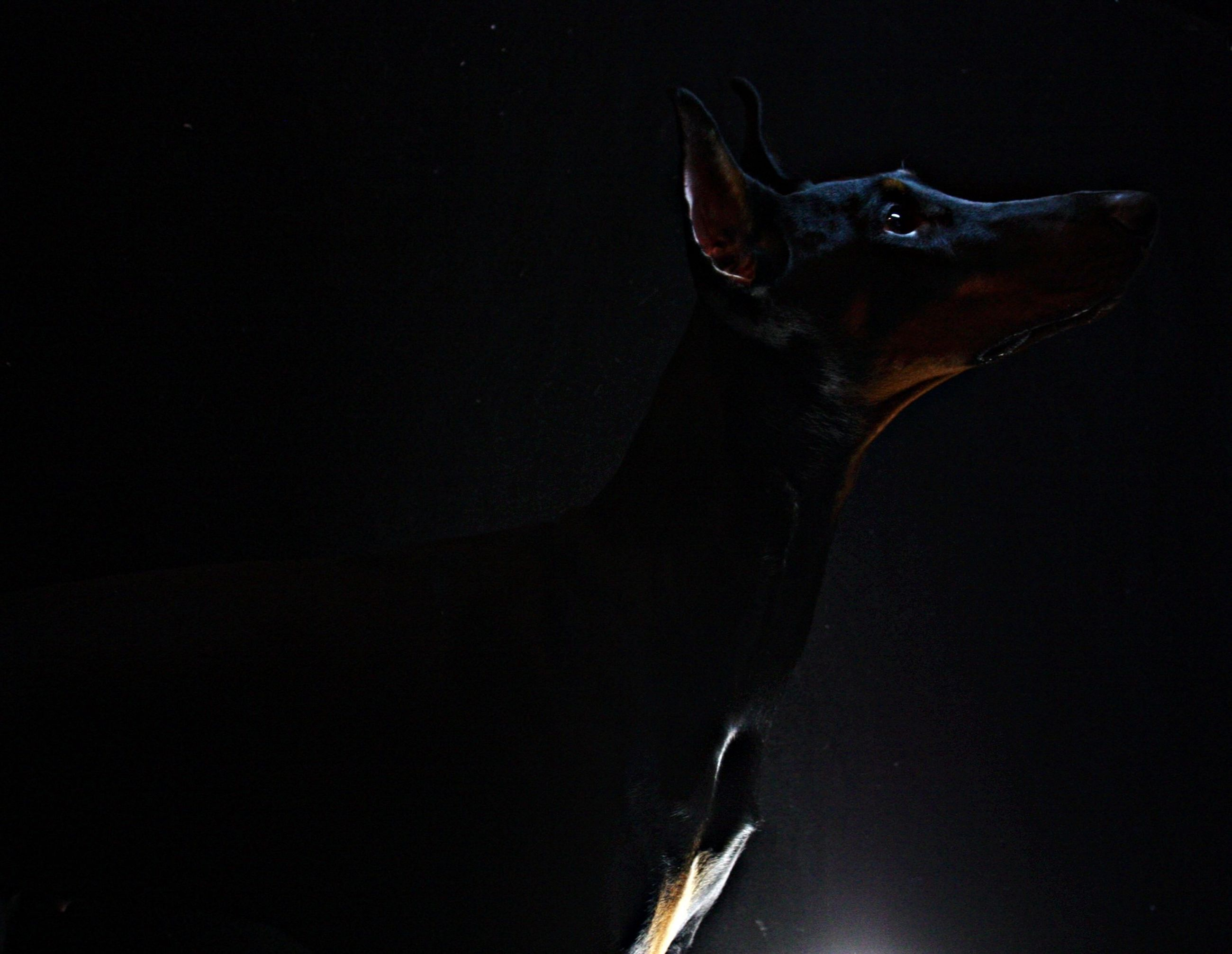 one animal, animal themes, copy space, black background, studio shot, night, motion, close-up, animals in the wild, no people, low angle view, wildlife, underwater, swimming, clear sky, nature, dark, blue, sea life, side view