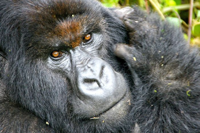 Kuryama Group Feb 2017 Silverback Endangered Species Wildlife Silverback Silverback Gorilla One Animal Animals In The Wild Animal Wildlife Mammal Ape Nature Outdoors Portrait Gorilla