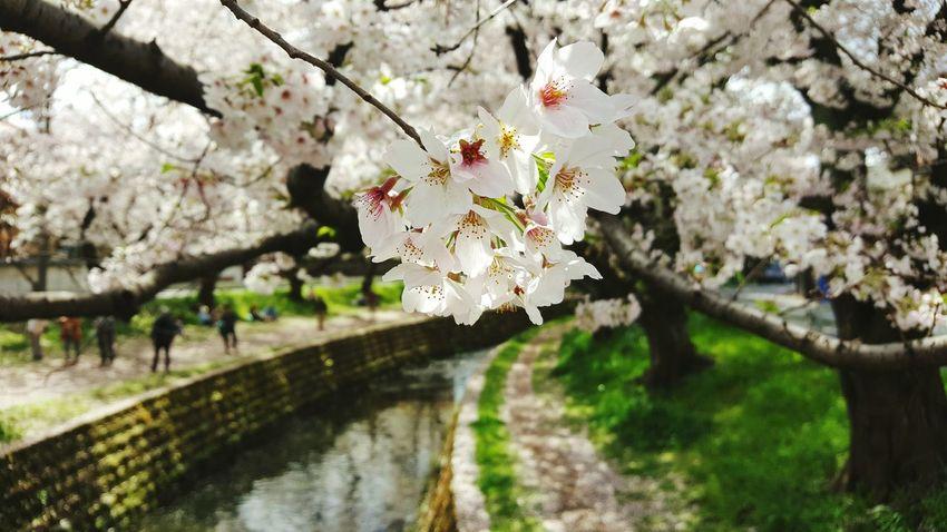 Sakura: paikura Cherry Blossom Flower Tree Cherry Tree Nature Botany Japan AMPt_community Eye4photography