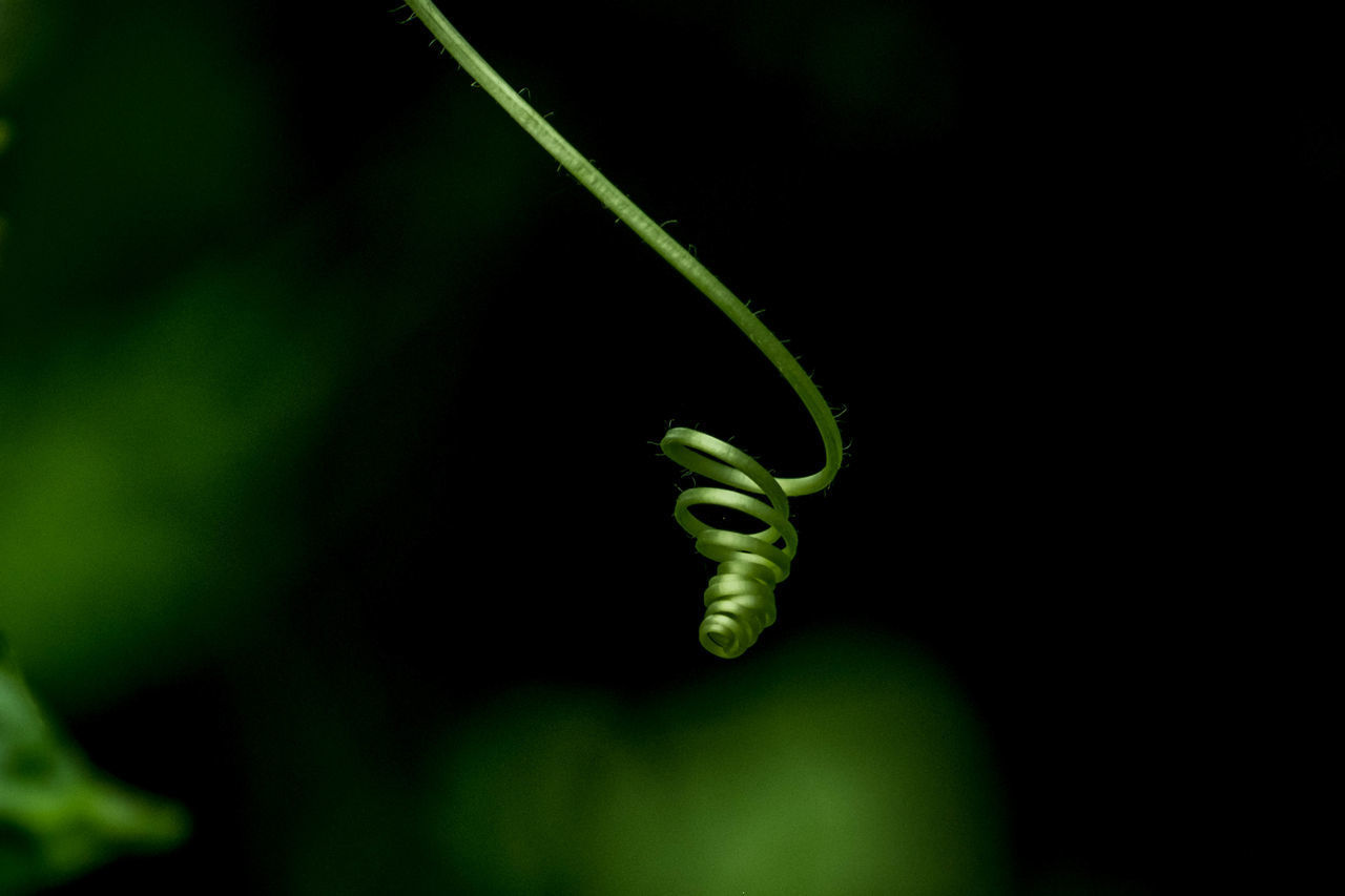 plant, green color, tendril, growth, close-up, beauty in nature, no people, nature, fragility, vine, selective focus, vulnerability, focus on foreground, curled up, spiral, freshness, plant stem, plant part, leaf, outdoors, black background