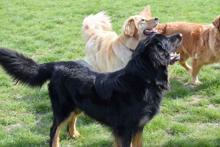 Animal Themes Day Different Colours Dog Domestic Animals Field Grass Hovawart Mammal Nature No People Outdoors Pets Three Hovawarts Togetherness