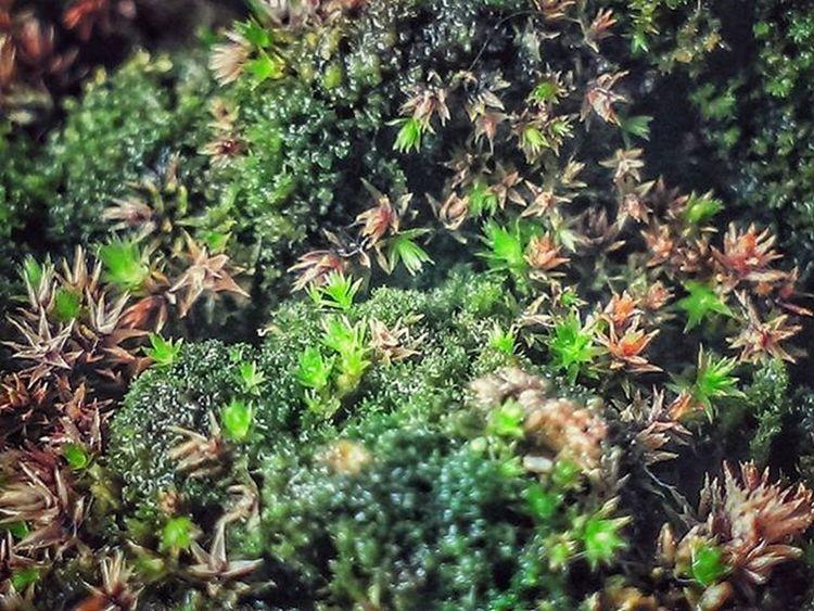 Macro Moss Plantpot Small Ecosystems Random Nature Green Teatime Observations Indoor Mobilephotography Mobilecamera Mobilecam Nocrop Office Mumbai India .