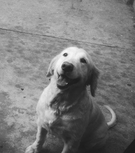 Maggie ❤ Pet Love MyLifeMyWorldMyEverything Everyday Lives Mybaby Photography Black & White Taking Photos Hello World Dog Goldenretriever Dogoftheday Dog LifeMagic Moments Maggie Petlove