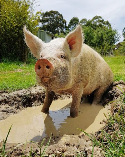 #friendsnotfood Pig Rescued FriendsNOTfood One Animal Water Animal Themes Mammal Domestic Animals Outdoors No People Day Nature