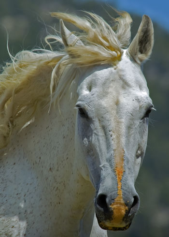 Mustang horse on a sunny Wyoming day. Mustang Pet Portraits Wildlife Photography Animal Head  Animal Themes Animals In The Wild Close-up Horse Horse Mane Horse Nose Horse Photography  Livestock Looking At Camera Mammal Nature No People One Animal Outdoors Portrait Wild Horses In Wyoming Wild Mustangs
