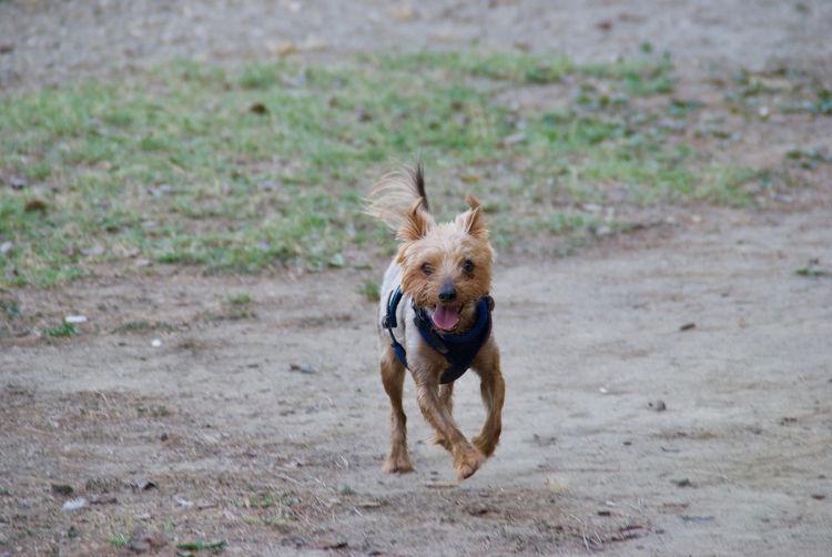 dog yorkshire Terrier pet dog Animales Friends Yorkshire Terrier Adorable Dog Brown Hair Canine Photography Dog Lapdog Obedient Dog Pedigree Dog Playful Dog Terrier Dog.