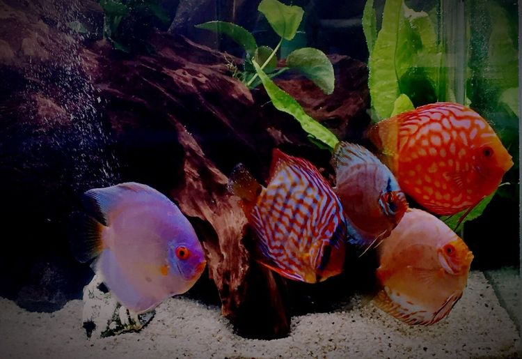 Fishlovers Showcase April Human Vs Nature Tropical Fish Fishtank Colors Colorful Fish Aquarium Discus Close-up Discus Fish Aquarium Life No People Animal Themes Nature Taking Photos Indoors  Netherlands Underwater Underwater Photography