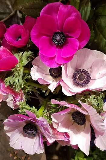 Flower Nature Beauty In Nature Flower Head Close-up Tokyo,JapanPlant アネモネ Anemone Flower Anemone