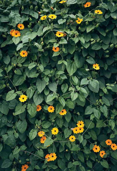 Black-eyed Susan vine Nature Beauty In Nature Black-eyed Susan Black-eyed Susans Flower Flower Head Flowering Plant Flowerwall Freshness Green Color Growth Leaf Nature No People Orange Color Petal Plant Yellow