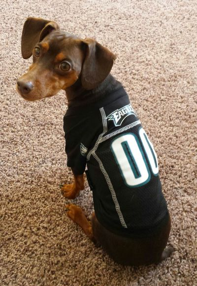 Philadelphia Eagles Animal Themes Black Color Close-up Day Dog Domestic Animals Eagles Home Interior Indoors  Mammal No People One Animal Pets Sitting