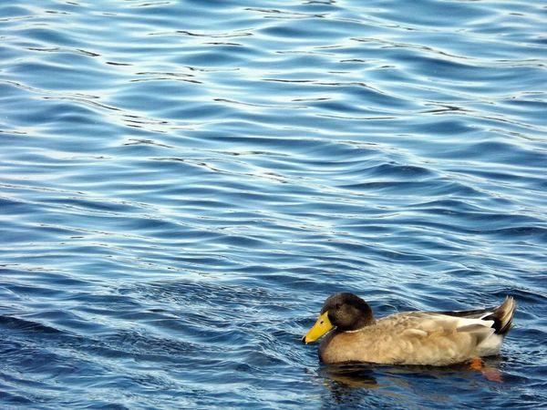 Smart Simplicity Duck On The Move At The Park Bird Photography Australian Wildlife