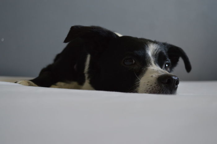 Brown Eyes Floppy Ears Looking At Camera Animal Themes Black And White Dog Close-up Day Dog Domestic Animals Indoors  Lazy Dog No People One Animal Pets Portrait