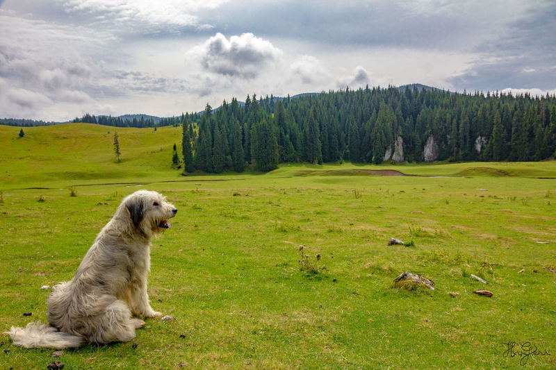 Padis, Transylvania Hiking Hungary Padiș Romania Transylvania Animal Themes Beauty In Nature Cloud - Sky Day Dog Domestic Animals Grass Hungarian Landscape Mammal Mountain Nature No People One Animal Outdoors Pets Scenics Sitting Sky Tranquility Tree