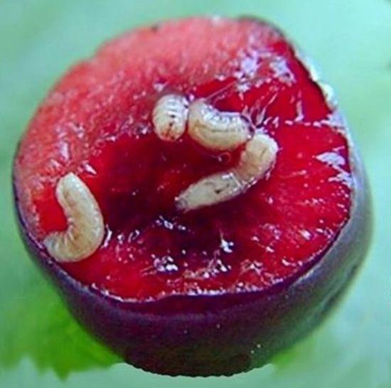 Fruit Food And Drink Maggots . Gusanos Descomposición Descomposition Frutas Y Verduras Food Healthy Eating Freshness