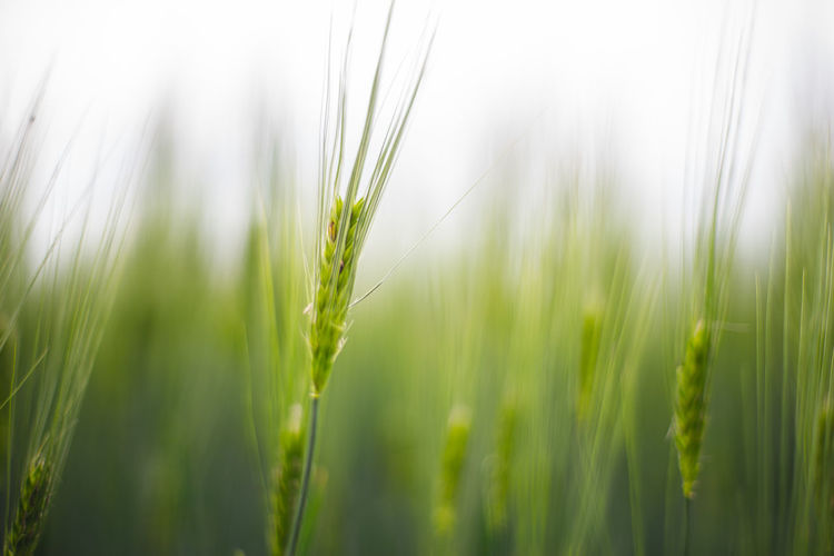 Plant Growth Green Color Field Agriculture Nature Close-up Selective Focus Land Grass Crop  Beauty In Nature Cereal Plant Wheat Day Landscape No People Rural Scene Focus On Foreground Freshness Outdoors Blade Of Grass The Minimalist - 2019 EyeEm Awards